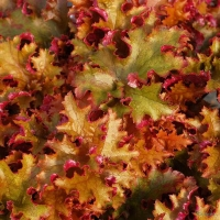 Гейхера гибридная Зиппер (Heuchera Zipper)