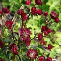 Астранция Мулен Руж  (Astrantia Moulin Rouge)