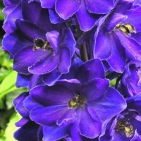 Дельфиниум Блэк Найт (Delphinium `Black Knight`)